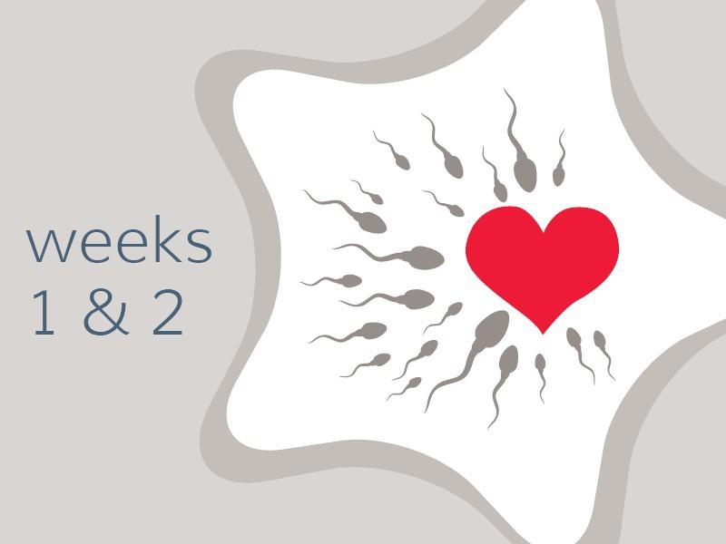 pregnancy-week1and22